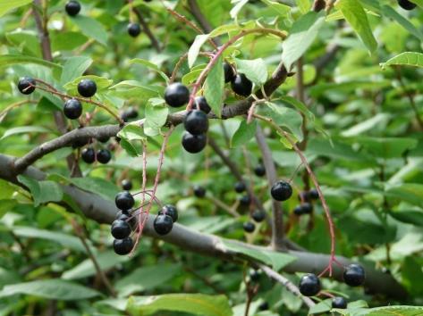 Эти фрукты похожи на черешню, можно ли их есть?