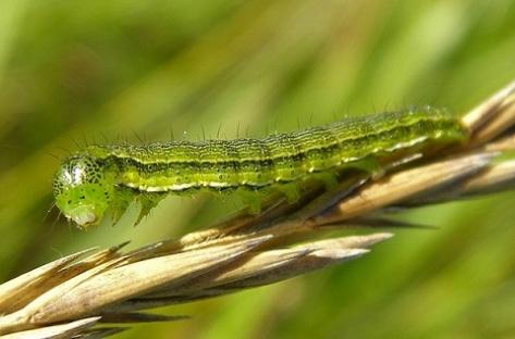 Будущему урожаю Бурятии угрожает нашествие насекомых-вредителей