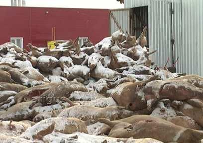 В Бурятии установили причину массового падежа свиней