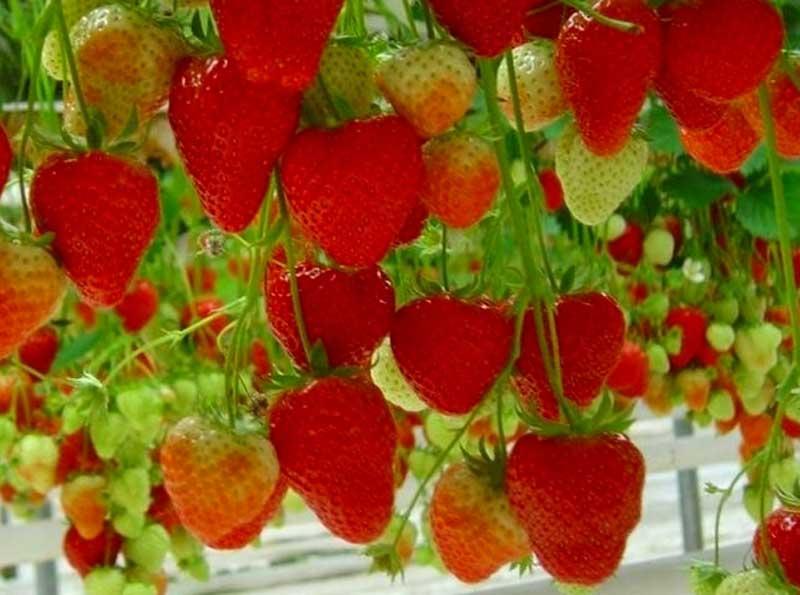 Выращиваем клубнику круглый год!
