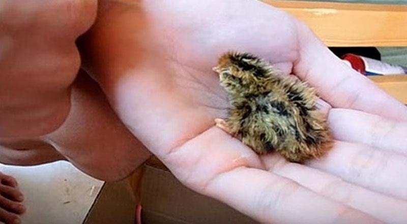 Известный блогер положила перепелиное яйцо в клетку к своему попугаю. Вот что вышло!